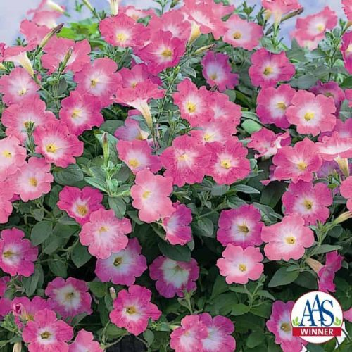 Petunia Opera Supreme Pink Morn F1 - 2007 AAS Bedding Plant Award Winner Iridescent pink blooms are the unique feature of this vigorous trailing petunia.