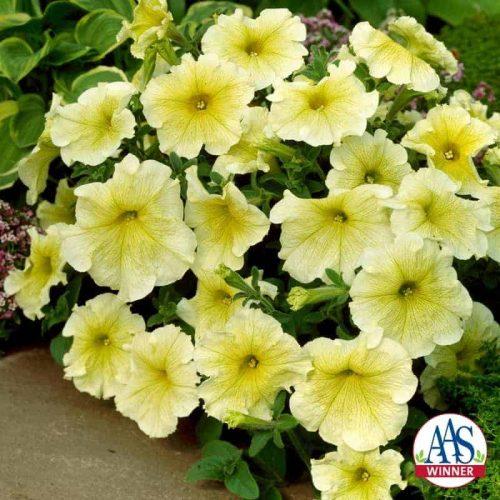 Petunia Prism Sunshine F1- 1998 AAS Bedding Plant Winner - This single, large, grandiflora flower is creamy yellow.