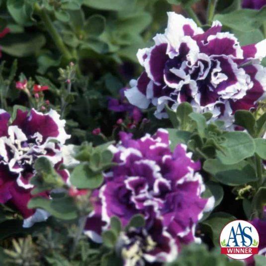 Petunia Purple Pirouette