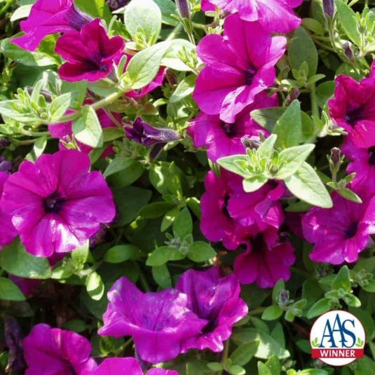 Petunia Wave® Lavender- 2002 AAS Flower Winner -Wave Lavender earned its AAS Award with a trailing, ground cover habit and exceptional garden performance similar to the famous Wave® Purple.