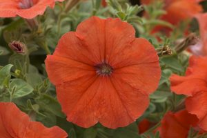 """Petunia African Sunset F1 2014 AAS Bedding Plant Award Winner African Sunset wowed the judges with an attractive, """"designer color"""" in shades of orange flowers that proved itself against other similarly colored petunias currently available."""
