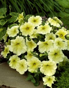 Petunia Prism Sunshine F1- 1998 AAS Bedding Plant Winner - This single, large, grandiflora flower is creamy yellow.