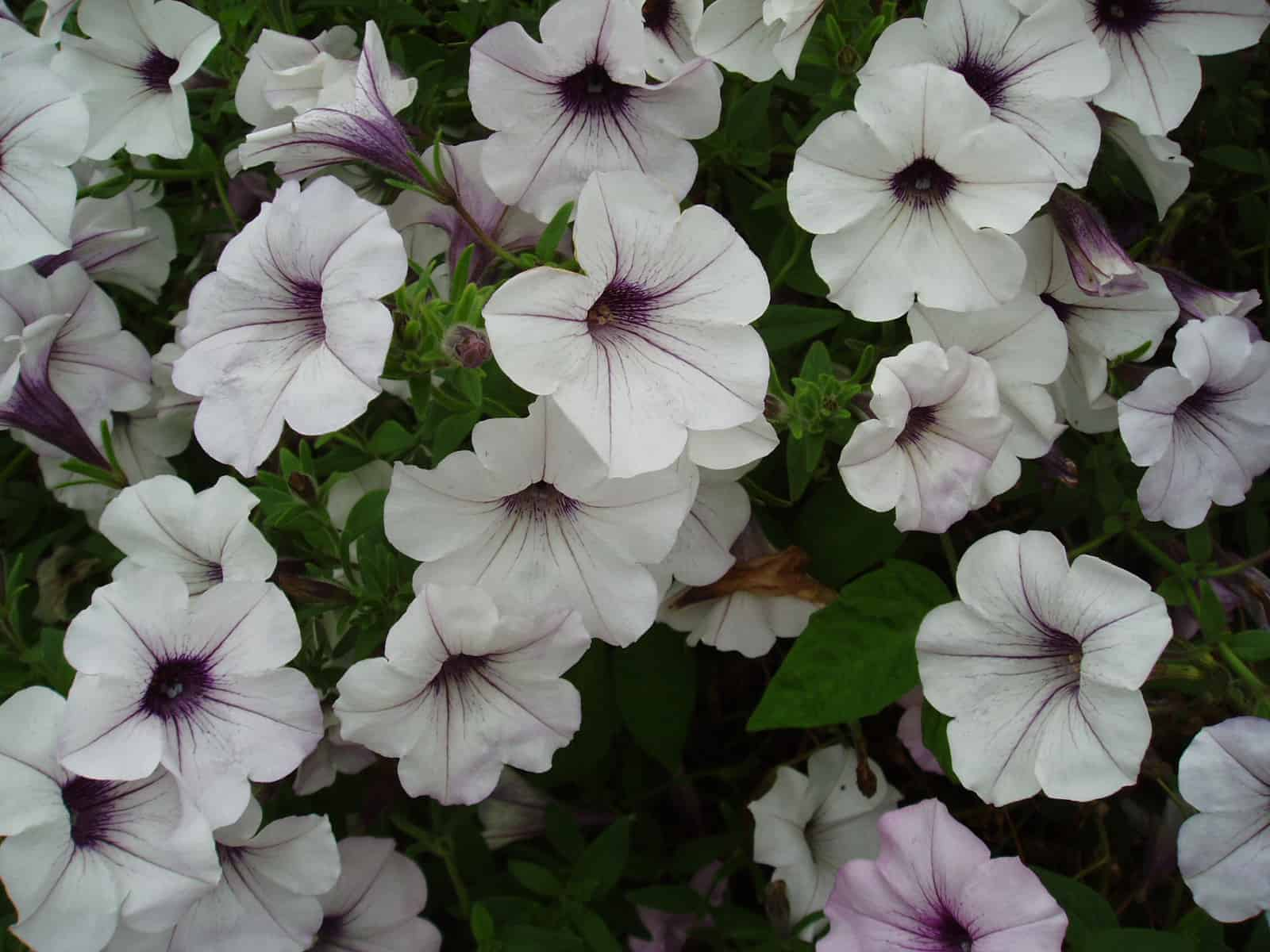 Petunia Tidal Wave Silver All America Selections