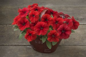 Petunia Trilogy Red F1 - 2015 AAS Bedding Plant Winner - The Trilogy petunia series has a new color with this stunningly rich, vibrant red version!