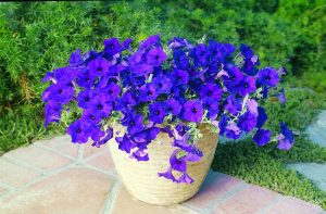 Petunia Wave® Blue - 2003 AAS Flower Winner The velvety, dark blue 2-inch blooms cover this trailing plant for the growing season.