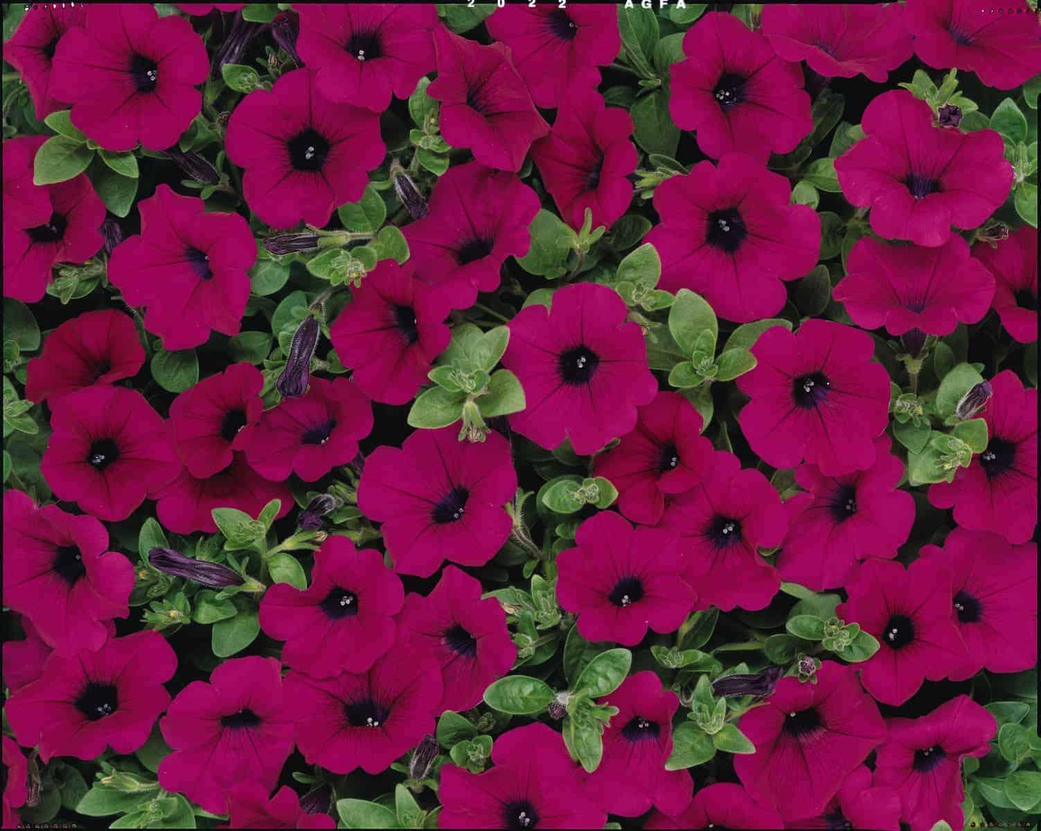 Petunia Wave® Purple F1