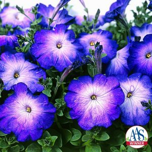 Petunia Merlin Blue Morn F1 - 2003 AAS Flower Winner A distinctly different blue and white petunia, the 2½-inch blooms are pure white in the center with a soft transition to velvety blue on the petal edge.