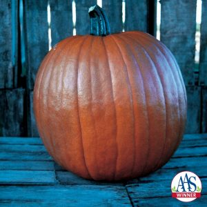 Pumpkin Sorcerer F1 - 2002 AAS Edible - Vegetable Winner - Sorcerer is a full-sized pumpkin, weighing 15 to 22 pounds but produced on a compact vine reaching only 10 feet.