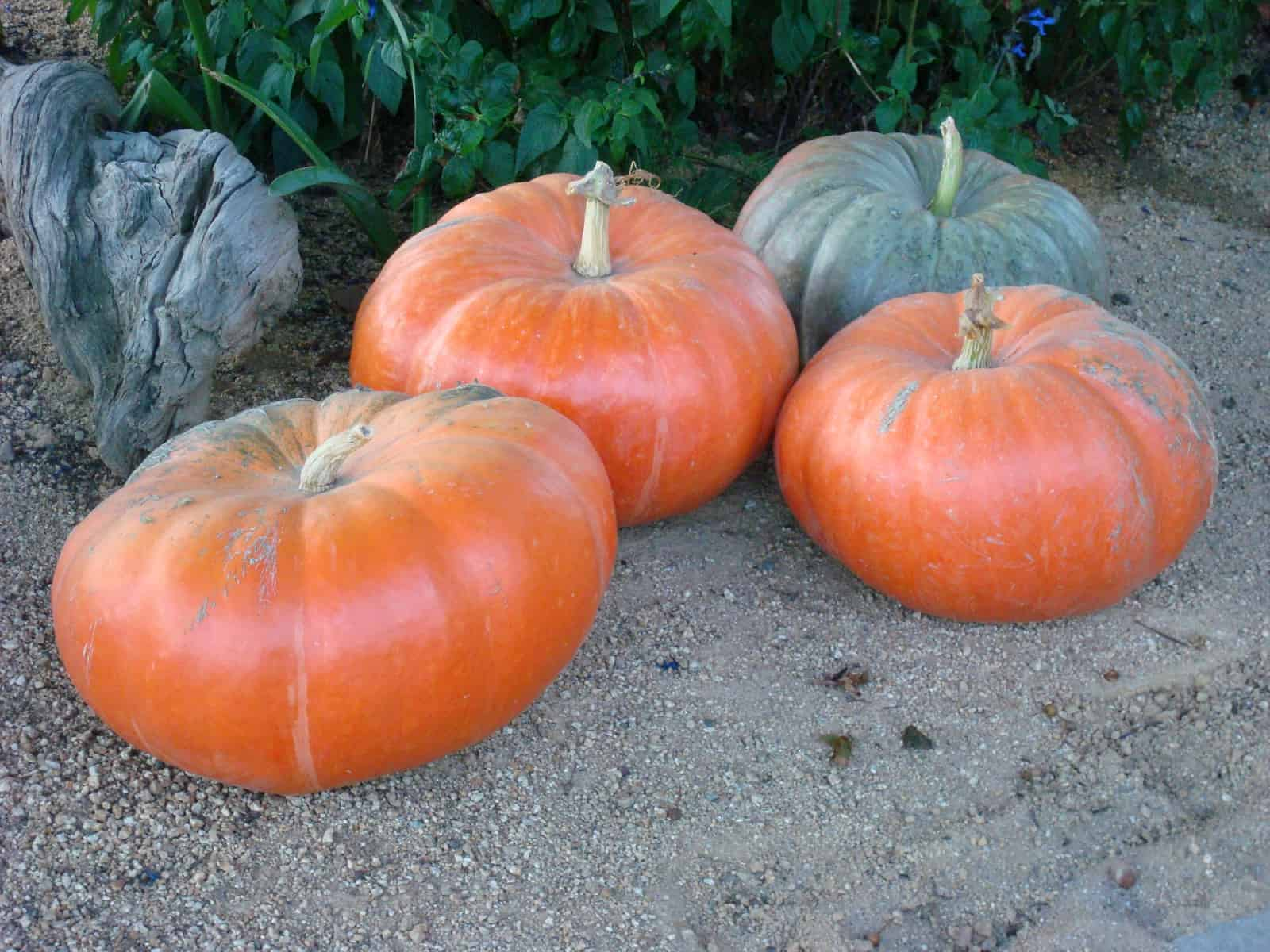 Fairytale pumpkin how to grow for Best pumpkins to grow
