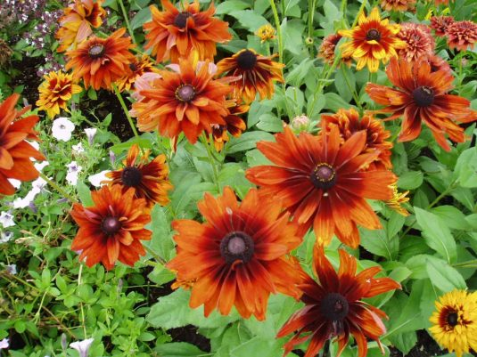 Rudbeckia Cherokee Sunset - 2002 AAS Flower Winner This Rudbeckia hirta contains a blend of sunset colors; yellow, orange, bronze, mahogany and shades of these colors.