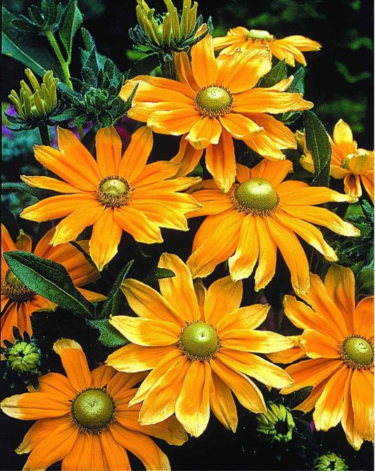 Rudbeckia Prairie Sun - 2003 AAS Flower Winner This robust rudbeckia has distinctive blooms.