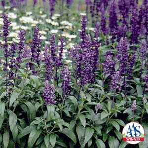 Salvia Evolution Violet - 2006 AAS Flower Winner - Evolution is the first Salvia farinacea with violet flower spikes.