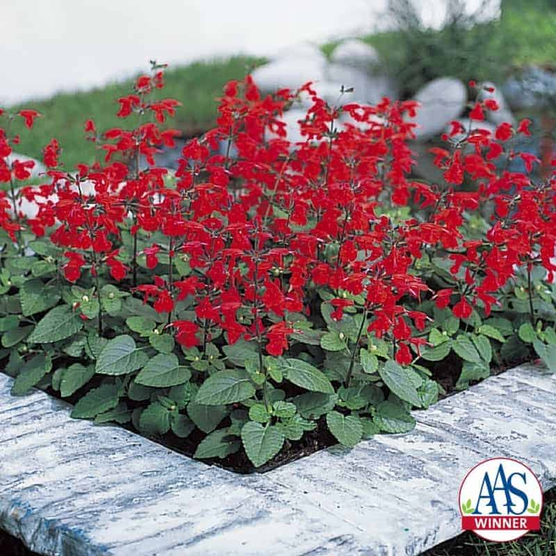 Salvia Summer Jewel Red All America Selections