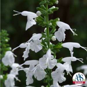 Salvia Summer Jewel White - 2015 AAS Winner - This dwarf sized, compact plant has a prolific bloom count throughout the summer. As a bonus, the blooms appear almost two weeks earlier than other white salvias.
