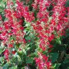 Salvia Lady in Red