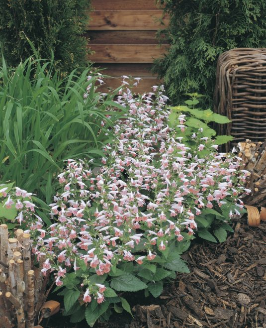 Salvia Summer Jewel Pink - 2012 AAS Bedding Plant Award Winner This dwarf sized, compact plant has a prolific bloom count throughout the growing season.