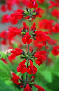 "Salvia Summer Jewel Red - 2011 AAS Bedding Plant Award Winner This AAS Bedding Plant Award Winner was consistently rated ""superior"" or ""above average"" by the AAS judges because of its early and generous flower blossoms, continuing from spring to autumn."