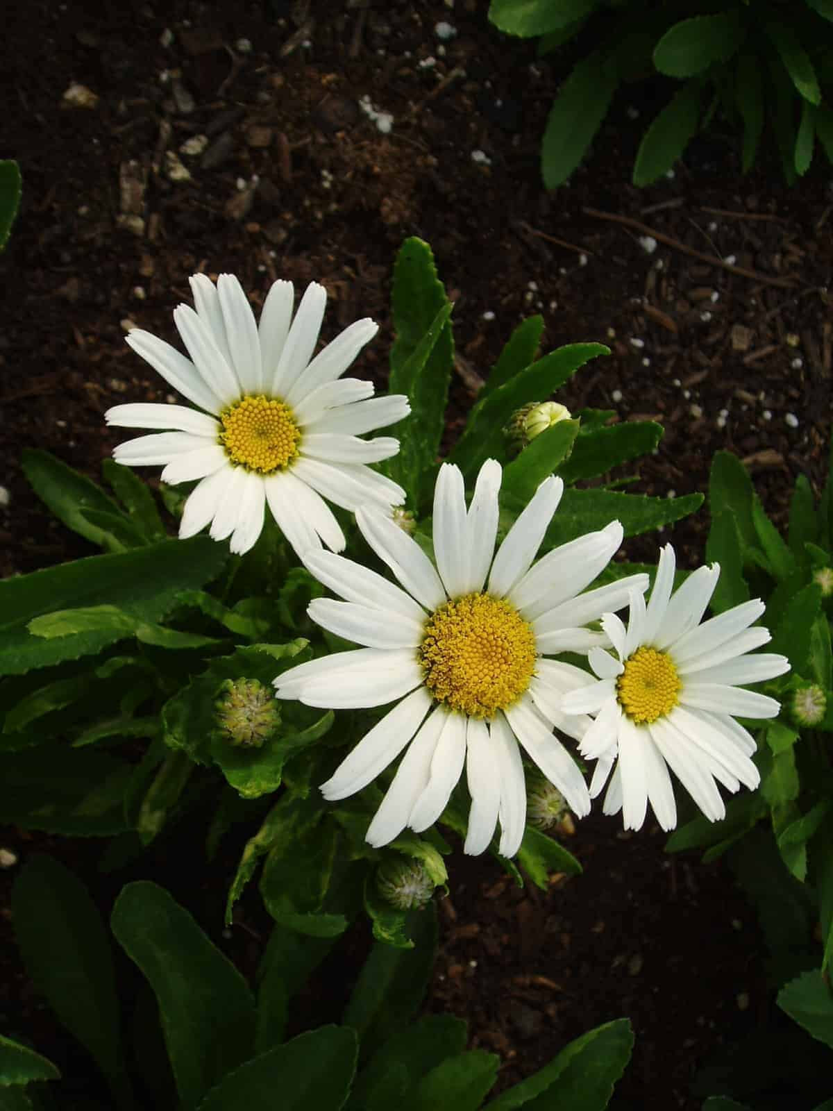 Shasta daisy snow lady all america selections search aas winners izmirmasajfo