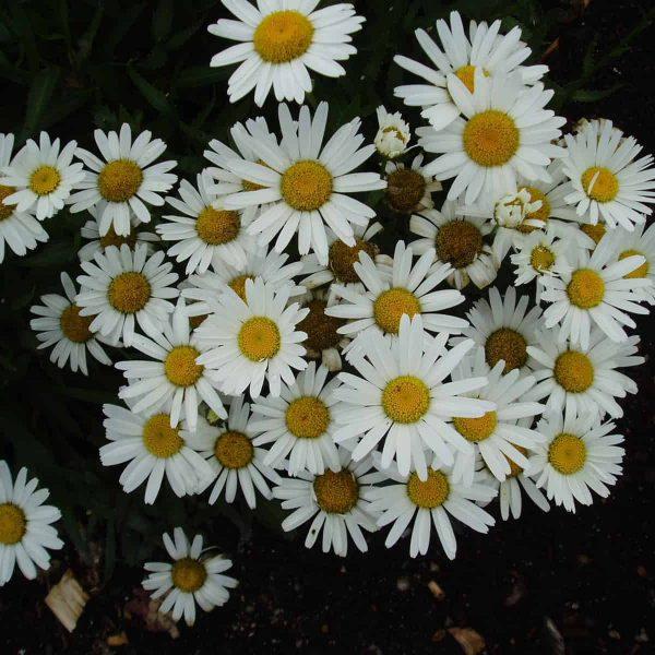 Shasta Daisy Snow Lady