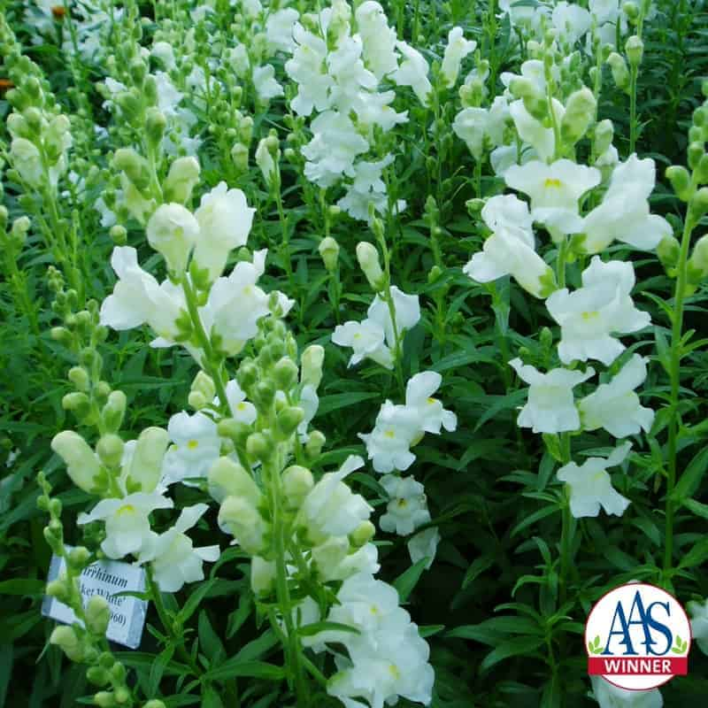 Snapdragon rocket white all america selections search aas winners home aas winners snapdragon rocket white mightylinksfo
