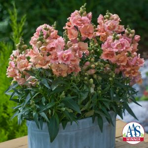 Snapdragon Twinny Peach™ F1 2010 AAS Flower Award Winner First double flower form snapdragon with a compact habit.