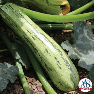 Squash Bossa Nova F1 2015 AAS Vegetable Award Winner The beautiful dark and light green mottled exterior of this zucchini is more pronounced than other varieties on the market