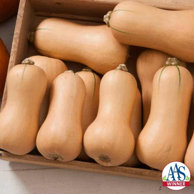Squash Butterscotch F1 2015 AAS Vegetable Award Winner This adorable small-fruited butternut squash has an exceptionally sweet taste perfect for just one or two servings.