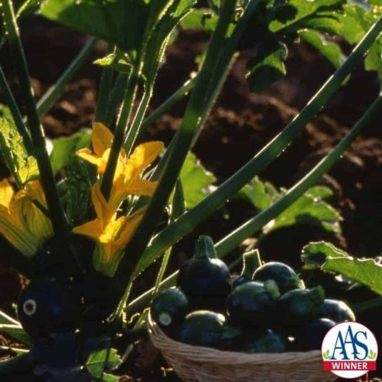 Squash Eight Ball F1- 1999 AAS Edible - Vegetable Winner - The first dark green, round, zucchini squash.