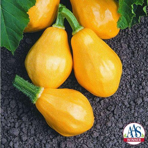 Squash Papaya Pear F1 - 2003 AAS Edible - Vegetable Winner The first summer squash with a shape similar to a tropical papaya fruit.
