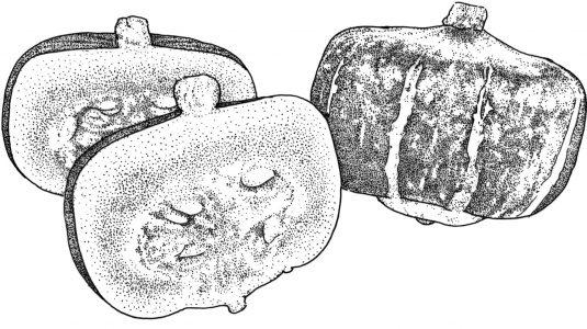 Squash Bonbon - 2005 AAS Edible - Vegetable Winner - Bonbon is a Cucurbita maxima with three improved traits.