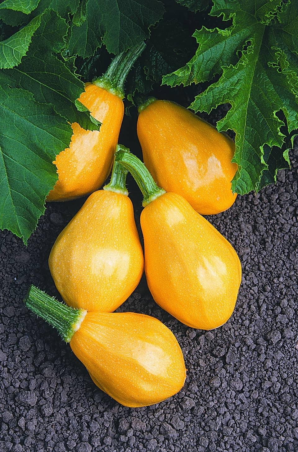 Squash Papaya Pear F1 All America Selections
