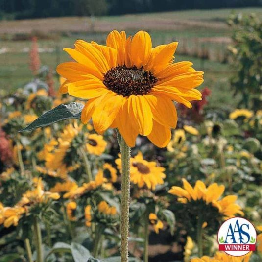Sunflower Soraya - 2000 AAS Flower Winner- Soraya is the first sunflower in AAS history to earn an AAS Award.