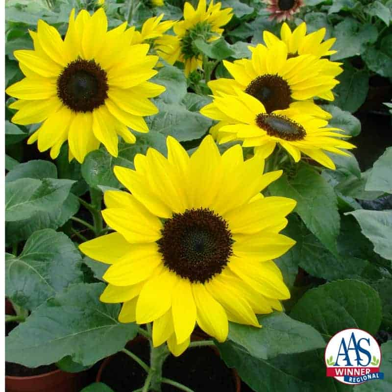 Sunflower suntastic yellow with black center f1 all america selections sunflower suntastic yellow with black center f1 2014 aas bedding plant award winner suntastic is a mightylinksfo