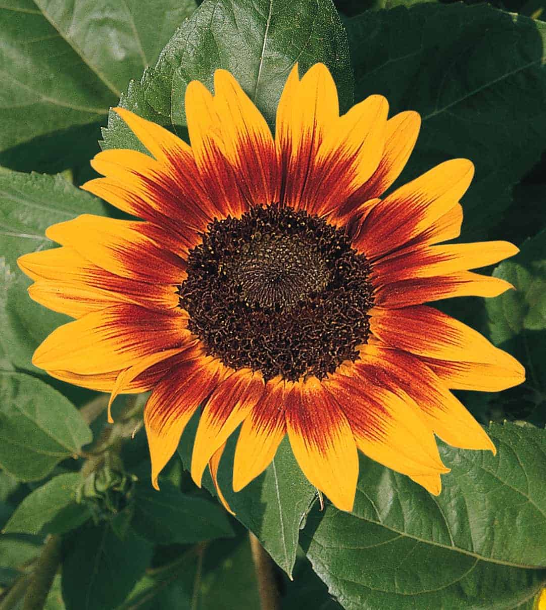 Sunflower Ring Of Fire All America Selections