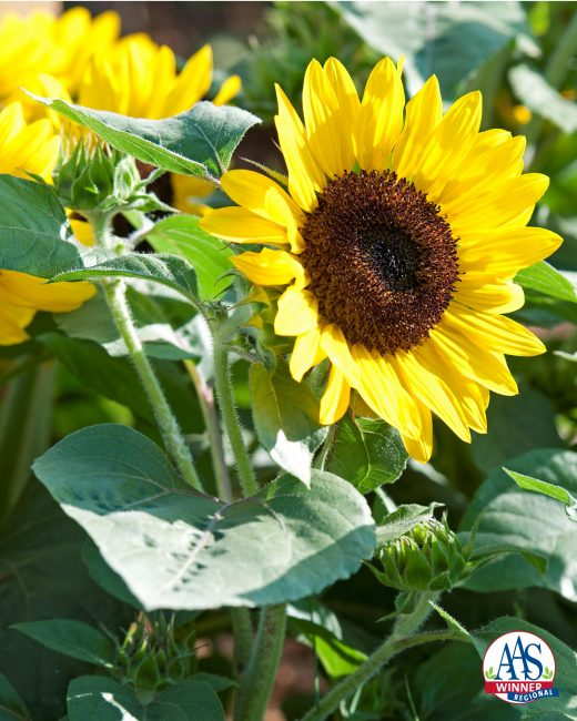 Sunflower Suntastic Yellow with Black Center F1 2014 AAS Bedding Plant Award Winner Suntastic is a new dwarf sunflower perfect as a cheery long-blooming potted plant or window box accent or maybe to add a burst of color to a sunny garden bed.