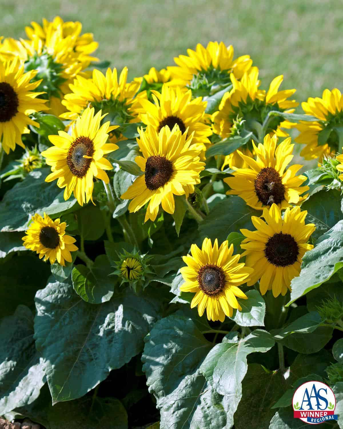 Sunflower Suntastic Yellow with Black Center F1 | All-America Selections