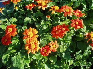 Tithonia Fiesta Del Sol - 2000 AAS Flower Winner - The first dwarf Mexican sunflower, Fiesta Del Sol thrives on summer heat and humidity, attaining a mature height of 2-3 feet.