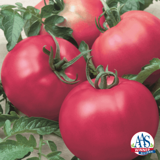 Tomato Chef's Choice Pink - AAS Edible-Vegetable Winner