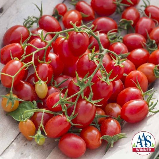 Tomato Fantastico F1 2014 AAS Vegetable Award Winner Fantastico is a must for any market grower or home gardener looking for an early-maturing, high-yielding grape tomato with built-in Late Blight Tolerance.
