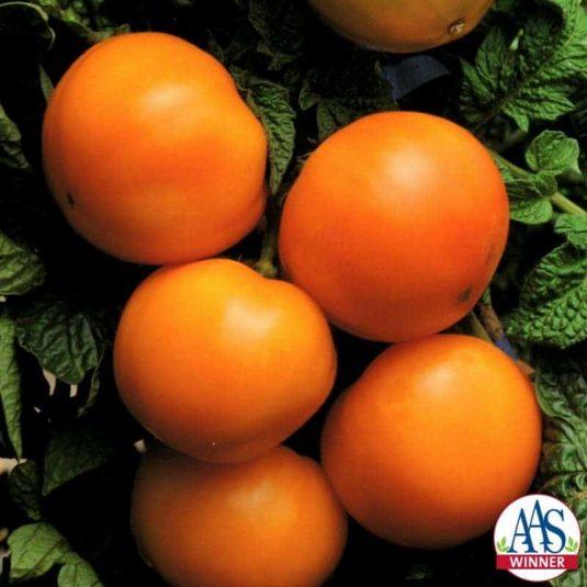 Tomato Husky Gold hybrid