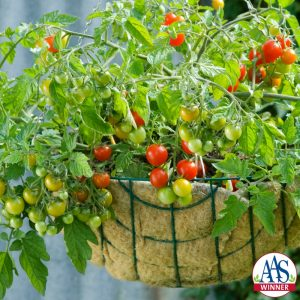 Tomato Lizzano F1 - 2011 AAS Edible - Vegetable Award Winner AAS Winner 'Lizzano' is a vigorous semi-determinate tomato variety with a low growing, trailing habit excellent for growing in patio containers or hanging baskets.
