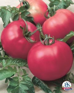 Tomato Chef's Choice Pink F1 2015 AAS Vegetable Award Winner Very Large yields of 12-14 ounce pink beefsteak tomatoes.
