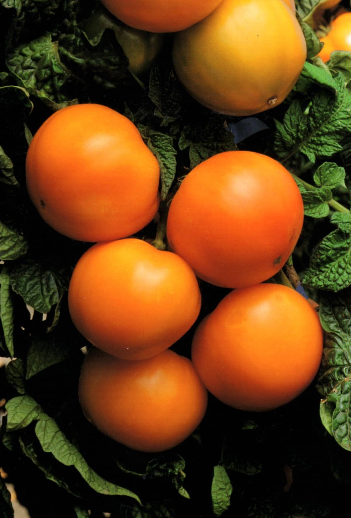 Tomato grove of groves: photos and reviews about the yield of the variety