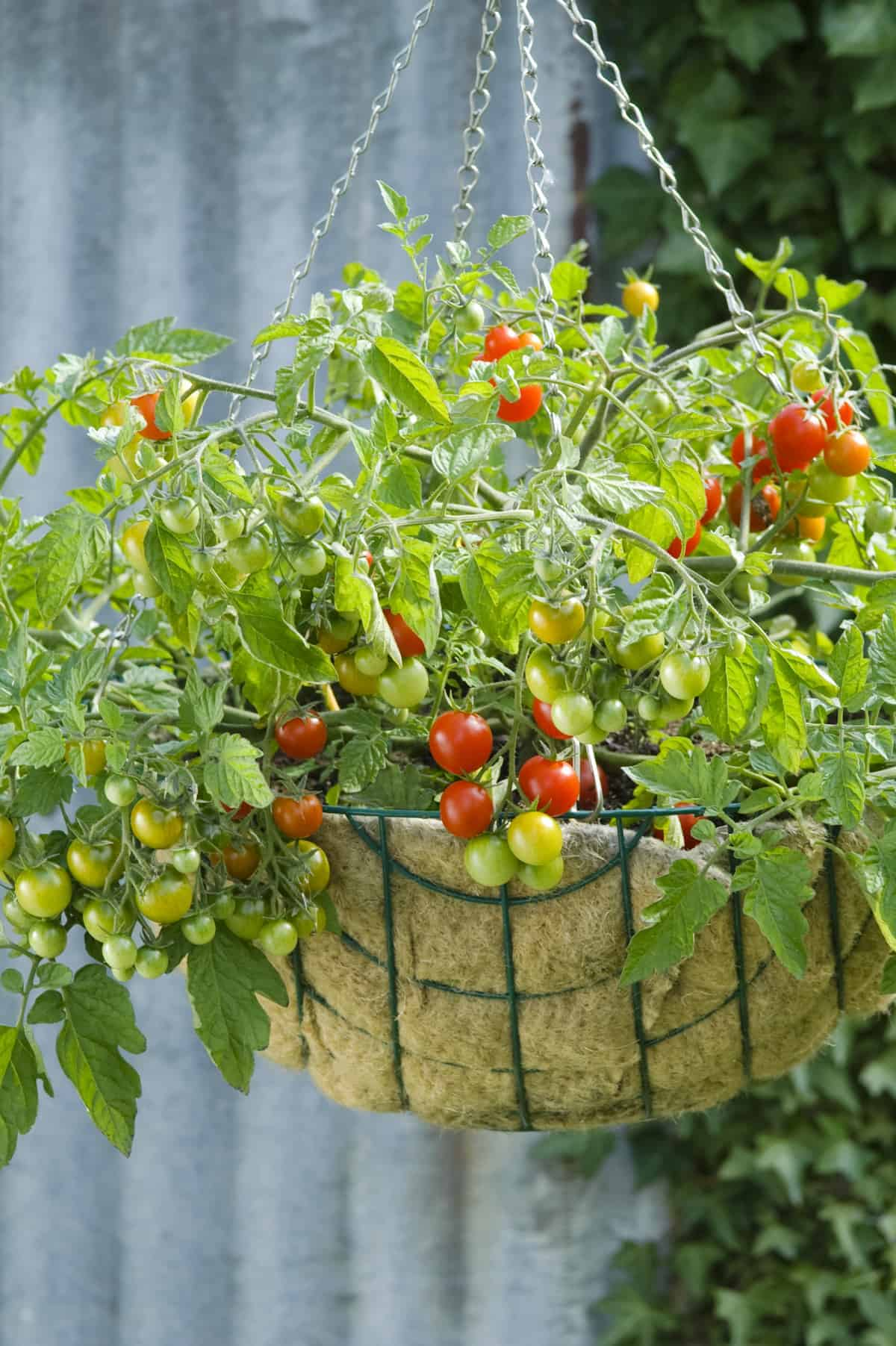 Growing Patio Tomatoes Home Design Ideas and