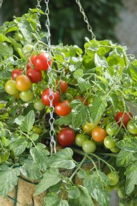 Tomato Terenzo F1 - 2011 AAS Vegetable Award Winner AAS Winner 'Terenzo' is a high yielding red cherry fruited 'Tumbler' type of tomato that is a prolific producer on a tidy low-growing, trailing plant.
