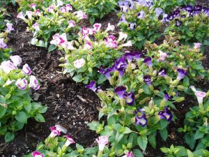 Torenia Clown Mixture
