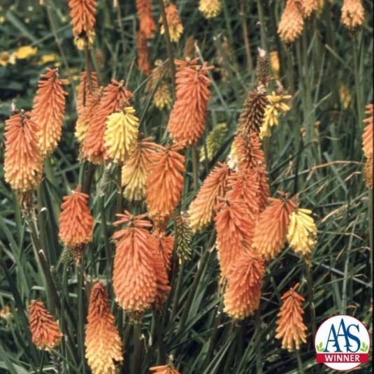 Tritoma Flamenco - 1999 AAS Flower Winner - An old fashioned flower, Tritoma is also known as red-hot-poker.