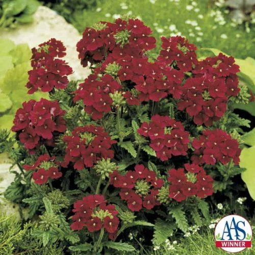 Verbena Quartz Burgundy F2 - 1999 AAS Bedding Plant Winner - A deep wine red color flower with tiny white eye describes this dwarf annual verbena.