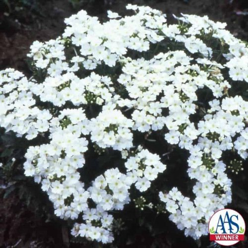 Verbena Sandy White