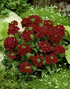 Verbena Quartz Burgundy F2 - 1999 AAS Bedding Plant Winner - A deep wine red color flower with tiny white eye describes this dwarf annual verbena.